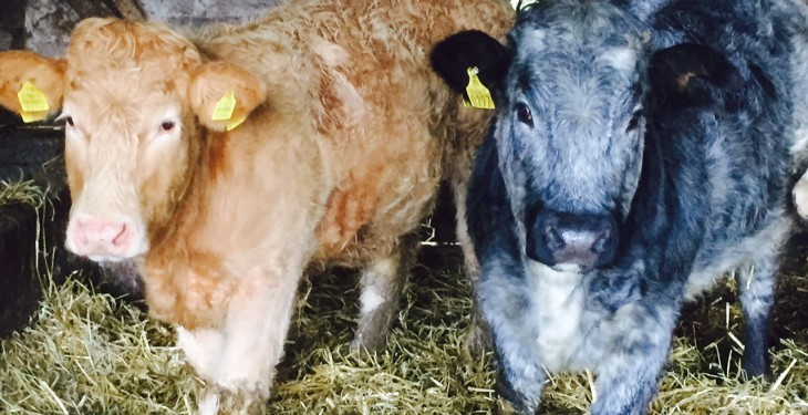 Irish heifer prices well behind UK returns