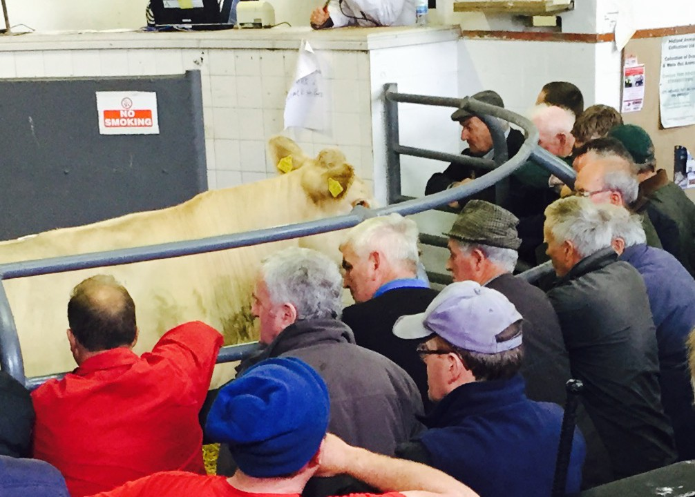 Ploughing Championships sees lower cattle numbers in the sales ring