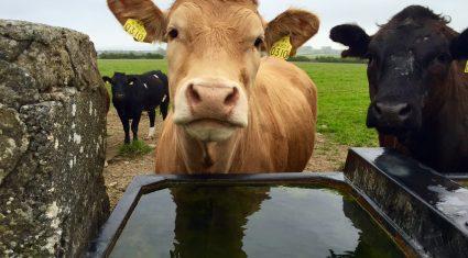 Ireland jumps back into sixth on EU heifer price league table
