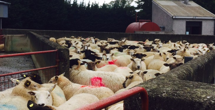 Deadline for sheep census returns is fast approaching