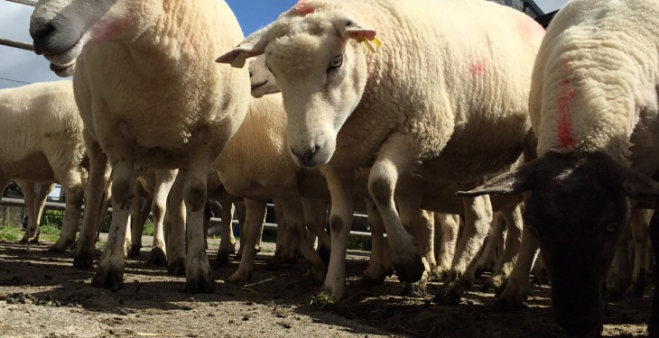 UK police use sheep line-up to reunite farmers with their flock!