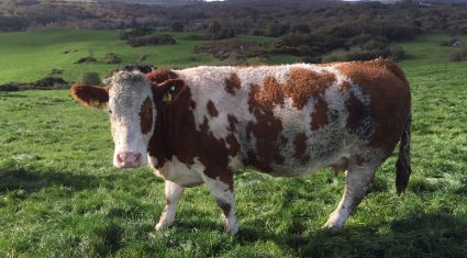 Cull cow prices slip by 10c/kg – Prime beef quotes remain unchanged