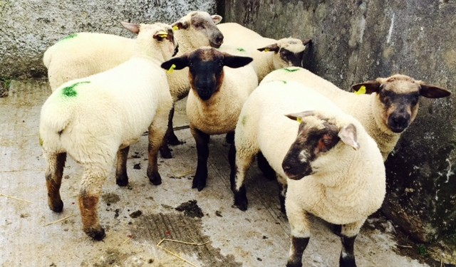 Sheep Marts – Store lambs remain in strong demand as top lot makes €2.40/kg