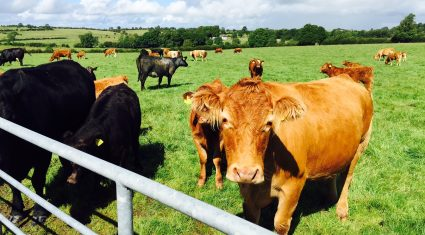 Electronic tagging of cattle only costs €1 extra and should be mandatory – ICOS