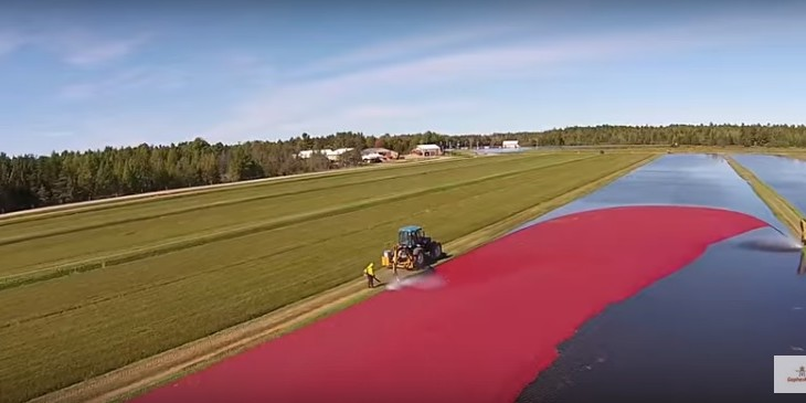Video: Ever wondered what a 320ac cranberry harvest looks like?
