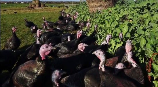 Video: Want a turkey reared on kale, cabbage and apples for Christmas?