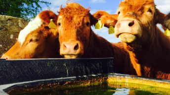 Live cattle exports to Britain down by nearly 70% – Bord Bia