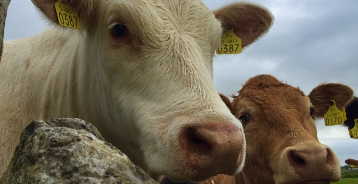 Ireland back in fifth on EU heifer price league table