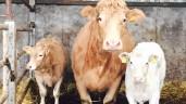 Beef-sired calf registrations drop in Northern Ireland