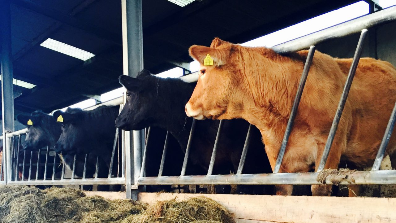 Suggestion Irish beef herd should be replaced by trees is 'nonsense' says IFA