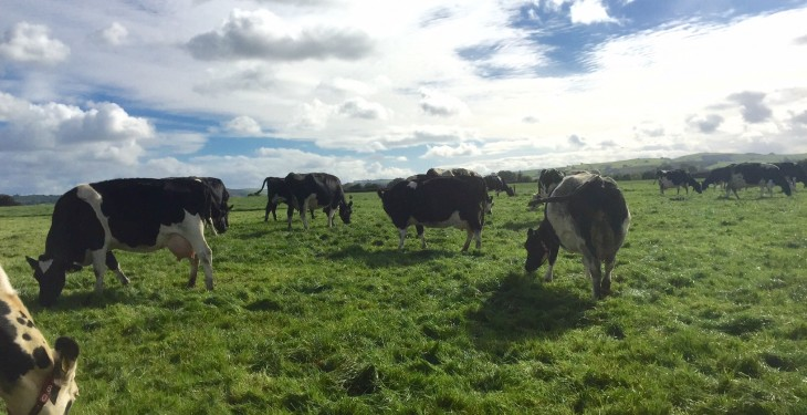 Is the dairy cow cull starting? Cow throughput jumps 8% in the space of a week