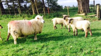 Mild weather sees spike in cases of Blowfly on sheep farms