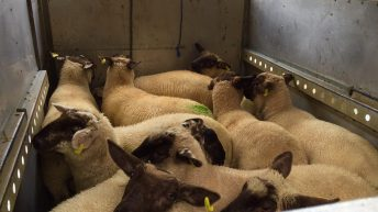 Over 120 Irish lambs die on flight bound for EID festival