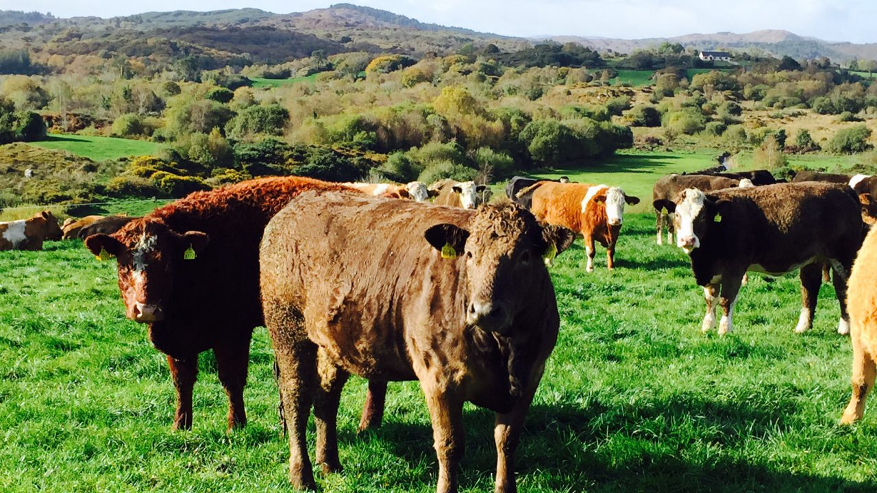 Top tips on breeding your own suckler replacement heifers – Teagasc