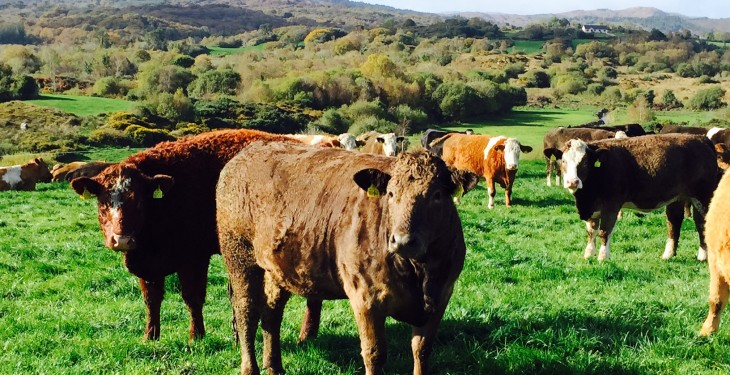 Base beef quotes show some signs of steadying but heifers fall 24c/kg since Brexit