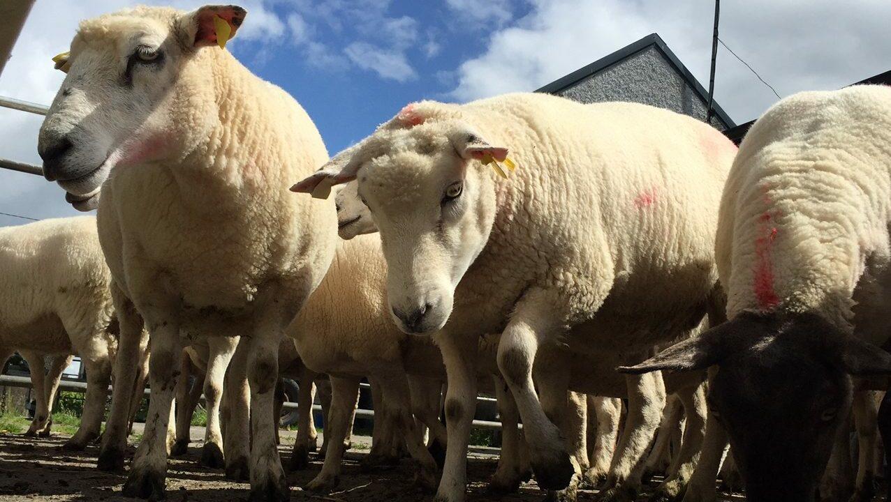 €30 per ewe needed in Sheep Welfare Scheme – Canney