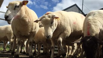 'Dirty' sheep issues 'resolved' after meat industry meeting