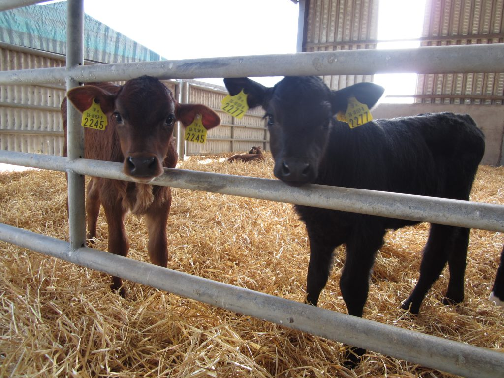 two calves in shed