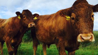 Northern Irish beef farmers are losing £1m a week – UFU