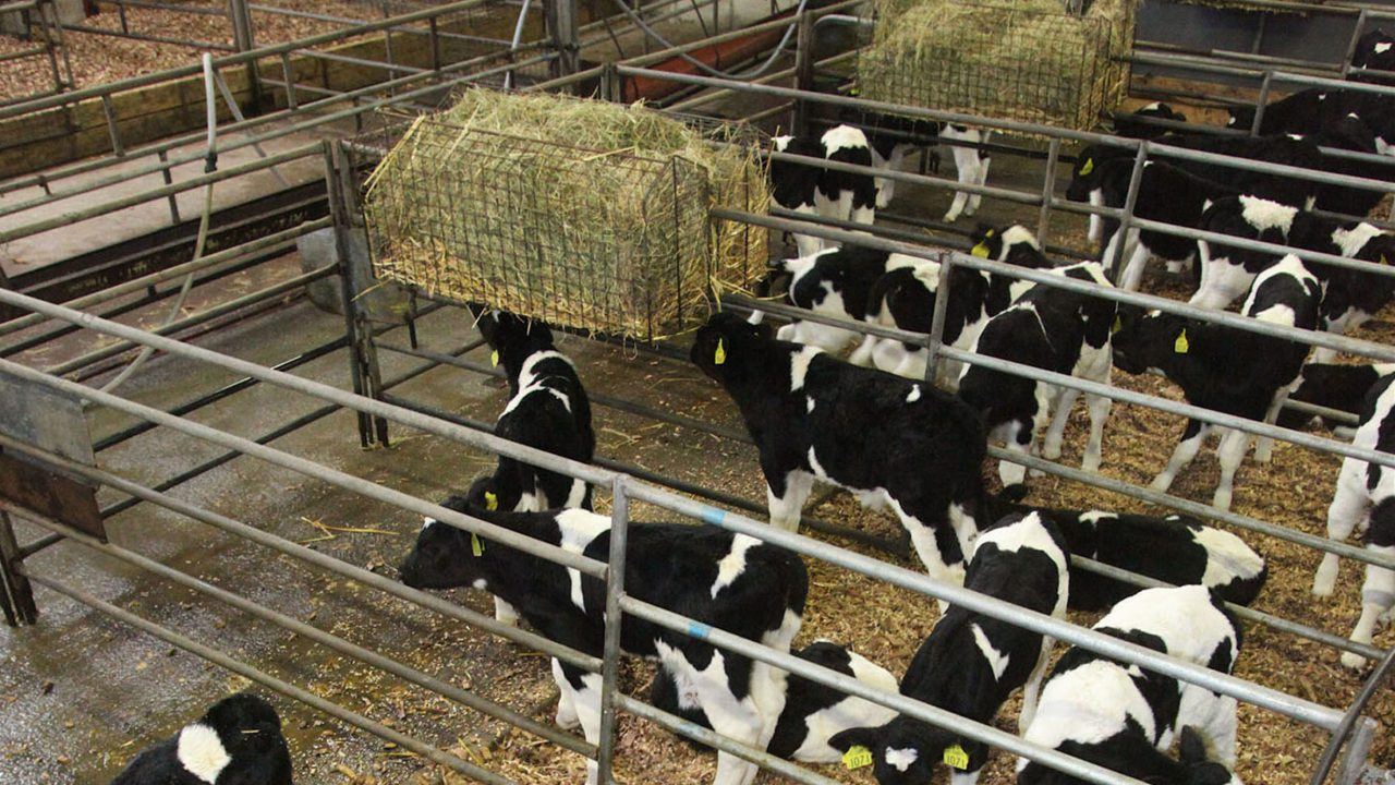 What's the best nutrition for the 1m dairy calves to be born in the coming months?