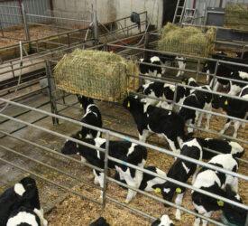 'Correct milk feeding important for dairy calves future growth'