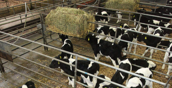 'Correct milk feeding important for dairy calves future growth'