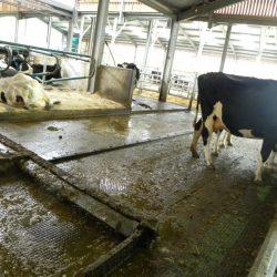 UCD dairy farm
