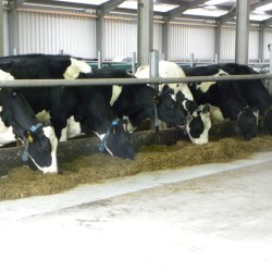 UCD dairy farm