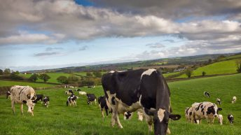 Fresh calvers can secure 13 kg of dry matter intake per day from grazing alone – Teagasc