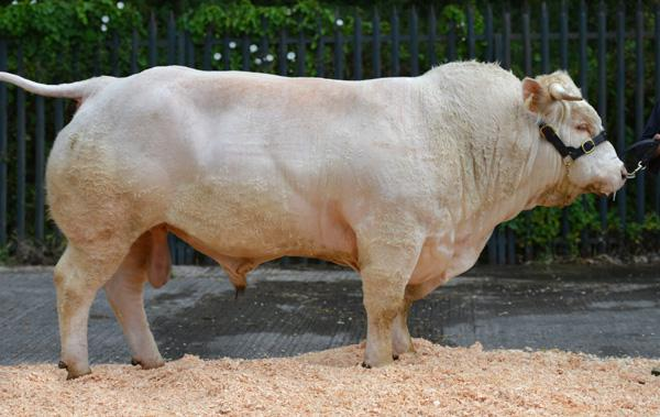 Beef farmers know what they want in bulls….ICBF top bull searches revealed