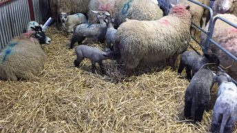 'Cheap rations in late pregnancy are not always the best option for sheep'