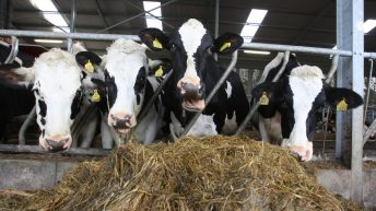 Don't underestimate the serious impact 'hoose' can have on dairy cows