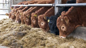 Northern Ireland's store cattle exports almost reached £10m last year