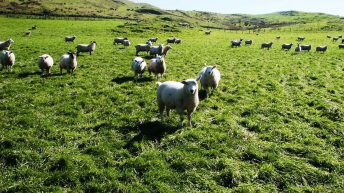 Coveney not commiting to IFA €20 ewe premium proposal