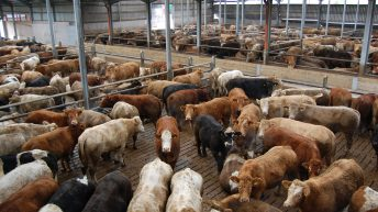 Weekly cattle supplies above 30,000 for the first time in 9 weeks