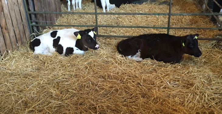 'Cryptosporidia is the number one cause of calf scour in Ireland'