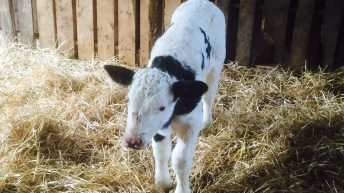 Lack of ship activity and increased numbers knocks €10 off Friesian bull calves