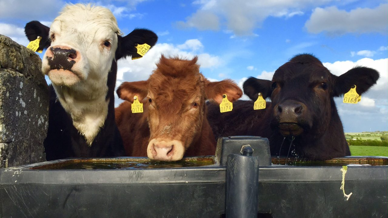 North/south beef heifer price differential narrows to 25.7c/kg