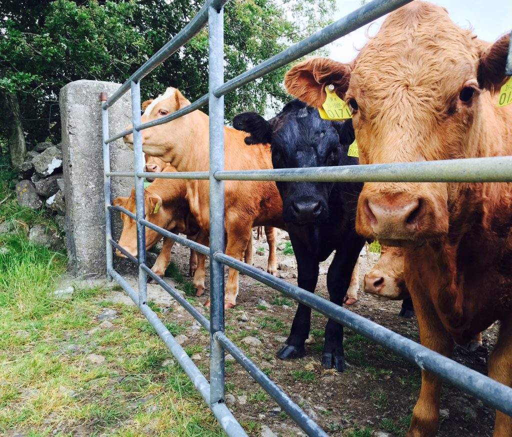 Farming Uk Meat Processing News: Cattle Condemned At NI Processing Plants Due To ID Status