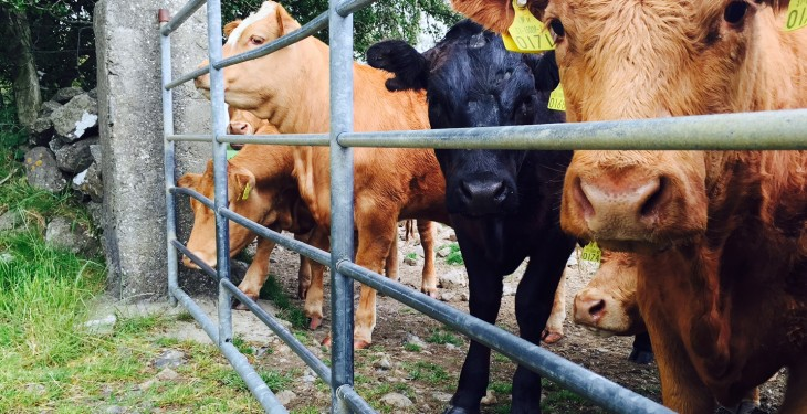 Cattle condemned at NI processing plants due to ID status queries