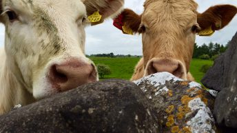 Another hike in UK cattle prices last week