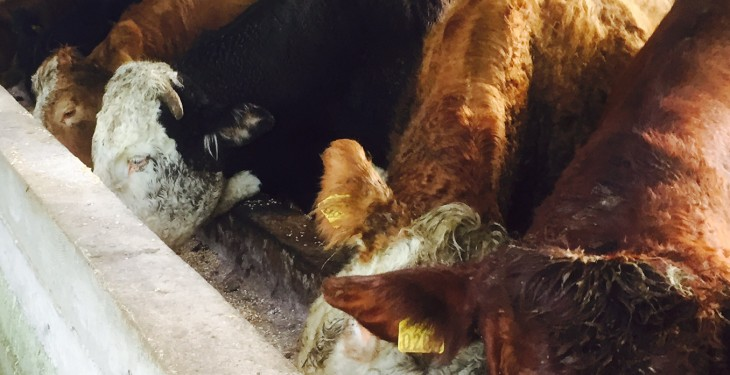 Beef quotes hold steady despite increased weekly kill