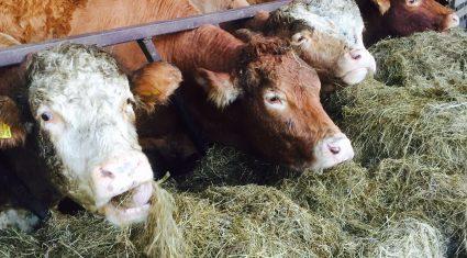Mad Cow Disease (BSE) detected in Spain