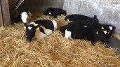 Dutch agriculture minister seeks ban on Irish calves