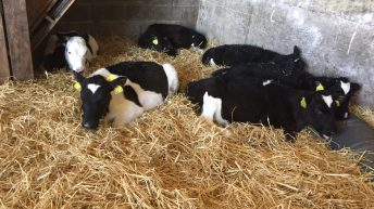 'Once-a-day feeding can save dairy farmers 36% of the time they spend with calves'