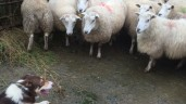Are you prepared for the sheep breeding season?