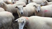 Farmer frustration as sheep slaughter delays mount