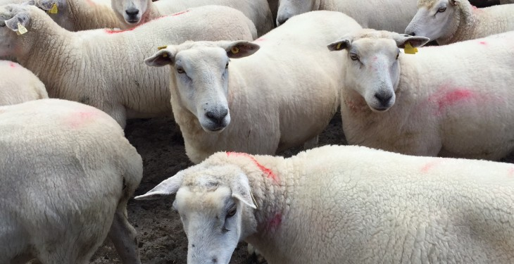 New Zealand sheepmeat exports hit 15-year high