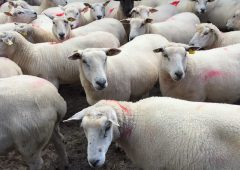 Sheep trade: Number of sheep killed falls dramatically due to beef protests