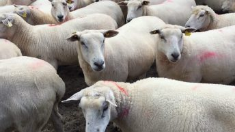 Sheep farmers wanted to take part in grass utilisation project